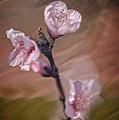 Peach Blossom by David Waldrop