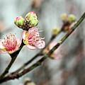 Peach Blossom by Kristin Elmquist