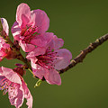 Peach Blossom by Stefan Rotter