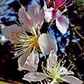 Peach Blossoms by D Hackett