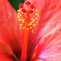 Peach Colored Hibiscus Closeup by Vishwanath Bhat