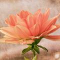 Peach Dahlia In The Garden by Kim Hojnacki