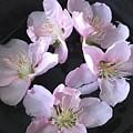 Peach Flowers by Lavender Liu