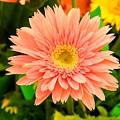 Peach Gerbera Daisy by Cynthia Woods