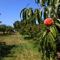 Peach Grove by Karol Livote