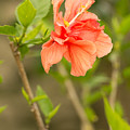 Peach Hibiscus by Beverly Tabet