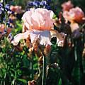 Peach Iris by Steve Karol
