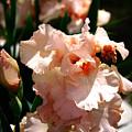 Peach Iris by Thea Wolff