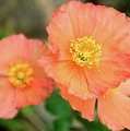 Peach Poppies by Sally Weigand