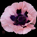 Peach Poppy - Cutout by Shirley Heyn