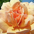 Peach Rose Art Prints Roses Flowers Giclee Prints Baslee Troutman by Baslee Troutman