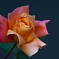 Peach Rose Bud by Emerald Studio Photography