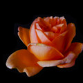 Peach Rose by Mark Blauhoefer
