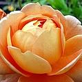 Peach Rose by R Scott Duncan