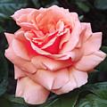 Peach Rose by Rona Black