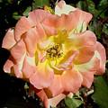 Peach Rose by Shirley Heyn