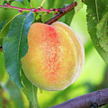 Peach, Thompson's Orchard, New Gloucester, Maine #50014 by John Bald