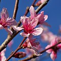 Peach Tree Blossoms by Betty Northcutt