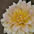 Peaches And Cream Dahlia by Susan Cliett