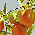 Peaches On The Tree by D Hackett