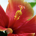 Peachy Hibiscus by Jessica Michaels