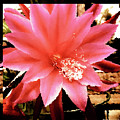 Peachy Pink Cactus Orchid by Mona Stut
