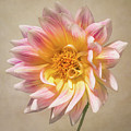 Peachy Pink Dahlia Close-up by Patti Deters