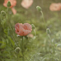 Peachy Poppies by Rebecca Cozart