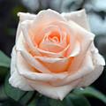 Peachy Rose by Karen Sturgill
