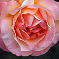 Peachy Rose by Norman Andrus