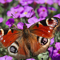Peacock Butterfly by MSVRVisual Rawshutterbug