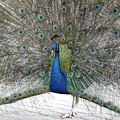 Peacock 03 by Joerg Bernhard Klemmer