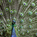 Peacock 1 by Jason Glerum
