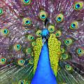 Peacock Art by Janet Fikar