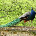 Peacock, Chateau De Saint-germain-de-livet by Curt Rush