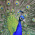 Peacock Colors by Scott Mahon