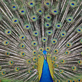 Peacock Display by William Waterfall - Printscapes