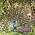 Peacock  displaying a plumage to attract a peahen