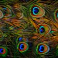 Peacock Feathers by Harry Spitz