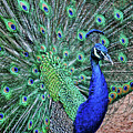 Peacock In A Oak Glen Autumn 2 by Tommy Anderson