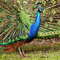 Peacock In Beacon Hill Park by Peggy Collins