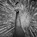 Peacock In Black And White by T A Davies
