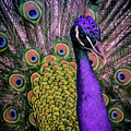 Peacock In Purple 2 by T A Davies