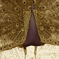 Peacock In Sepia by Brooke Roby