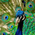Peacock by Lisa Maffia-reynoso