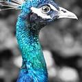 Peacock Luminance by Lisa Kilby