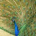 Peacock by Meagan  Visser