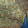 Peacock by Michael Hudson