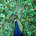 Peacock by Mikki Alhart