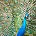 Peacock by Olja Simovic